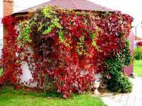 viewshiesa-rastenia-devichii-vinograd2.jpg